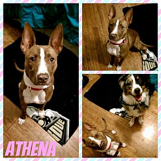 Pit Bull Terrier Dog for adoption in Newnan, Georgia - Athena (TN)