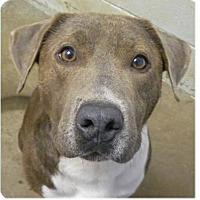 Adopt A Pet :: T-Bone - Springdale, AR