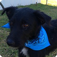 Adopt A Pet :: Hank - Rochester, NY