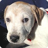 Adopt A Pet :: Scout - Cincinnati, OH