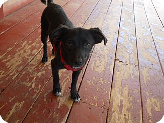 Chihuahua Dog for adoption in dewey, Arizona - Millie