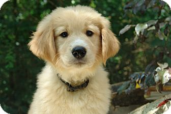 Great Pyrenees/Golden Retriever Mix Puppy for adoption in Spring Valley, New York - Bear