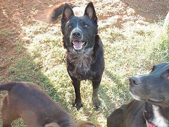 Border Collie/Australian Cattle Dog Mix Dog for adoption in Denver City, Texas - Nicholas