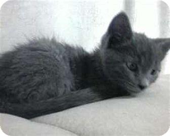 Russian Blue Kitten for adoption in Mt. Laurel, New Jersey - Blue Brite