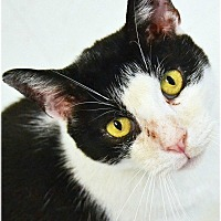 Domestic Shorthair Cat for adoption in Huntington, New York - Domino
