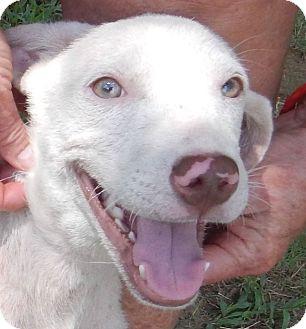 Labrador Retriever/Pointer Mix Dog for adoption in Charleston, Arkansas - Vanna