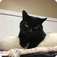 Domestic Shorthair Cat for adoption in Acushnet, Massachusetts - Buddy