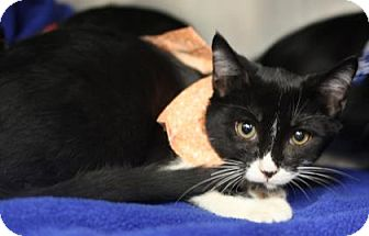 Domestic Shorthair Kitten for adoption in Voorhees, New Jersey - Brie