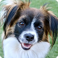Papillon Mix Dog for adoption in Litchfield Park, Arizona - Bambi