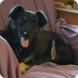 Border Collie/Anatolian Shepherd Mix Dog for adoption in Asheboro, North Carolina - Shelby