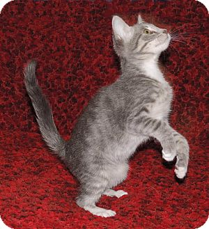 Domestic Shorthair Kitten for adoption in Plano, Texas - RAINDROP - LEFT IN A BOX