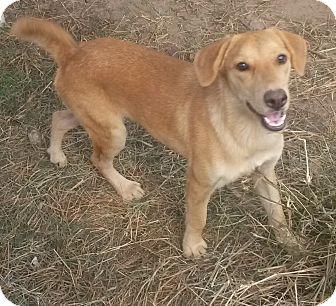 Golden Retriever/Labrador Retriever Mix Dog for adoption in Leming, Texas - Gypsy