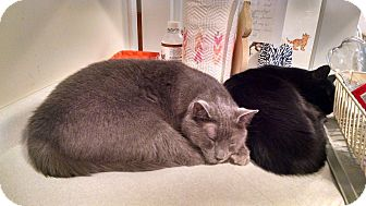 Domestic Shorthair Cat for adoption in Victor, New York - Dino