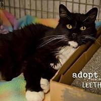 Domestic Longhair Cat for adoption in Kansas City, Missouri - Leetha