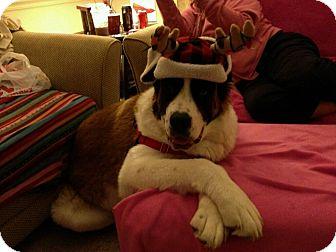 St. Bernard Dog for adoption in Westminster, Maryland - Heidi