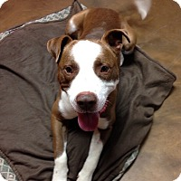Adopt A Pet :: Abraham - Hagerstown, MD
