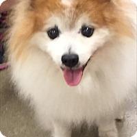 Adopt A Pet :: Fox - Fort Myers, FL