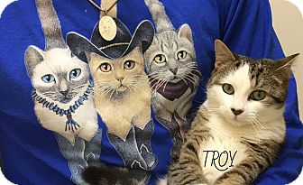 Domestic Shorthair Kitten for adoption in Great Neck, New York - Troy