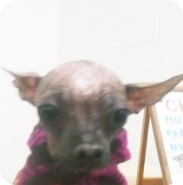 Chinese Crested Mix Dog for adoption in Tucson, Arizona - Myiah
