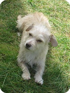 Terrier (Unknown Type, Small)/Dachshund Mix Dog for adoption in Tumwater, Washington - Dora