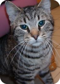 Domestic Shorthair Cat for adoption in Jackson, Michigan - Clarence