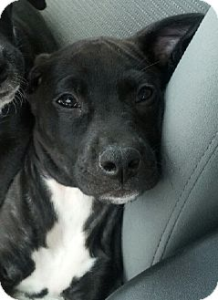Labrador Retriever Mix Puppy for adoption in Gainesville, Florida - Dexter