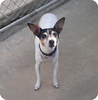 Rat Terrier Mix Dog for adoption in Richmond, Virginia - Trixie
