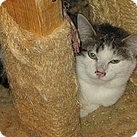 Domestic Shorthair Cat for adoption in Dana, Indiana - Barn cats need homes