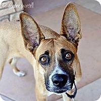 Adopt A Pet :: Sasha - Gilbert, AZ