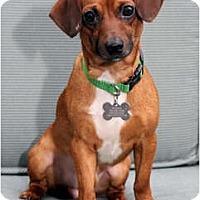 Adopt A Pet :: Fred - Nashville, TN