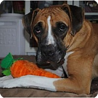 Adopt A Pet :: Duke - Grafton, MA