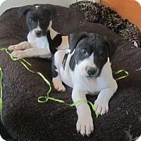 Adopt A Pet :: Barley - Copperas Cove, TX