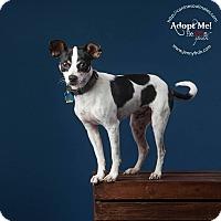 Adopt A Pet :: Tuxedo in Dallas - Austin, TX