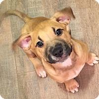 Adopt A Pet :: Memphis - Manassas, VA