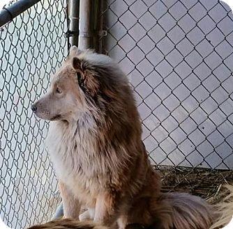 Chow Chow/Alaskan Malamute Mix Dog for adoption in Bedford, Indiana - Daffney
