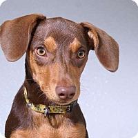 Adopt A Pet :: Penny Pincher - Sudbury, MA