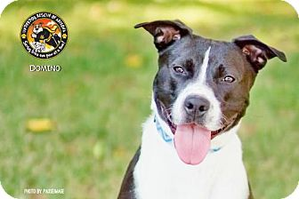 American Staffordshire Terrier Mix Dog for adoption in Chandler, Arizona - DOMINO