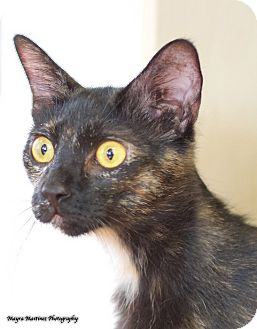 Domestic Shorthair Cat for adoption in Nashville, Tennessee - Galaxy