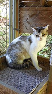 Domestic Shorthair Cat for adoption in Marlboro, New Jersey - Tia