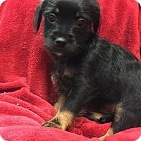 Yorkie, Yorkshire Terrier/Brussels Griffon Mix Puppy for adoption in Long Beach, California - Gilbert Grape