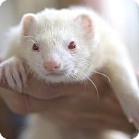 Adopt A Pet :: PHOENIX - Brandy Station, VA
