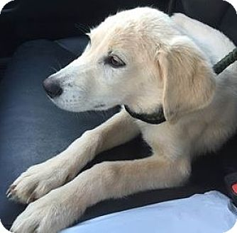 Golden Retriever/Labrador Retriever Mix Puppy for adoption in Aiken, South Carolina - Snow