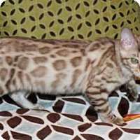 Adopt A Pet :: Shaded Pearl - Glendale, AZ