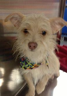 Terrier (Unknown Type, Small) Mix Dog for adoption in Bedford, Texas - Freddie