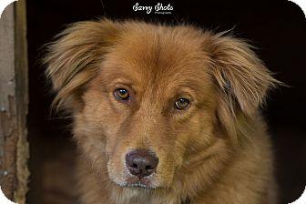 Golden Retriever/Chow Chow Mix Dog for adoption in Greensburg, Pennsylvania - Hobbs
