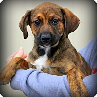 Adopt A Pet :: Hannah~ meet me! - Glastonbury, CT