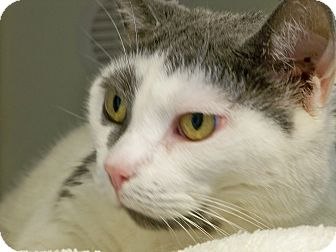 Domestic Shorthair Cat for adoption in Secaucus, New Jersey - Abbie