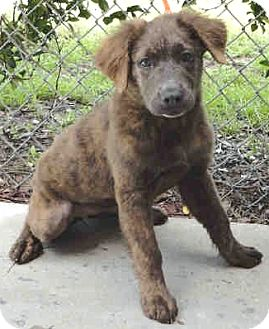 Australian Shepherd/Boxer Mix Puppy for adoption in Orlando, Florida ...