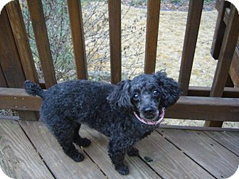 Poodle (Miniature) Mix Dog for adoption in Alexandria, Virginia - Cassie