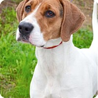 Adopt A Pet :: Maple - Sunnyvale, CA